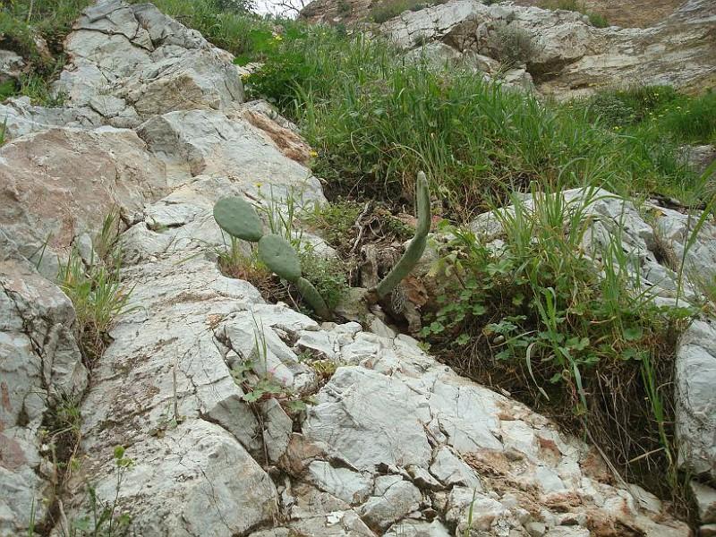 Opuntia (3)