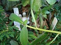 Euphorbia platycephala