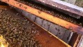 Honey Bee Queen in one of the new Nucs.