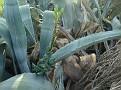 Agave americana 15 01 2009 Φιλοπάππου (2)