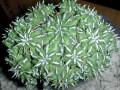Euphorbia sepulta