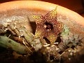 Huernia hystrix ssp  parvula