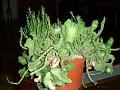 Euphorbia pugniformis fa. cristata