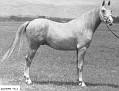 SULYMAN #9213 (Rifage x Ishmia) 1954 grey stallion bred by Wayne Van Vleet/ Van Vleet Arabian Stud