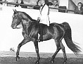 SEAHORSE SAREYN #15491 (Sureyn x Jubana, by Jubilo+) 1959 bay stallion bred by James Draper; sired 17 registered purebreds