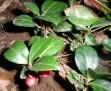 teaberry IMGP5913