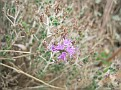 Thymus capitatus (2)