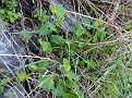 Aristolochia microstoma (2)
