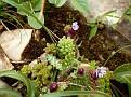 Anchusa variegata  Sedum sp (3)