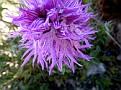 Orchis italica (6)