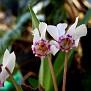Cyclamen cyprium (5)