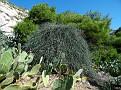 Ephedra foeminea (2)