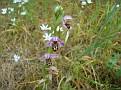 Ophrys oestrifera (1)