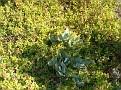 Aptenia cordifolia