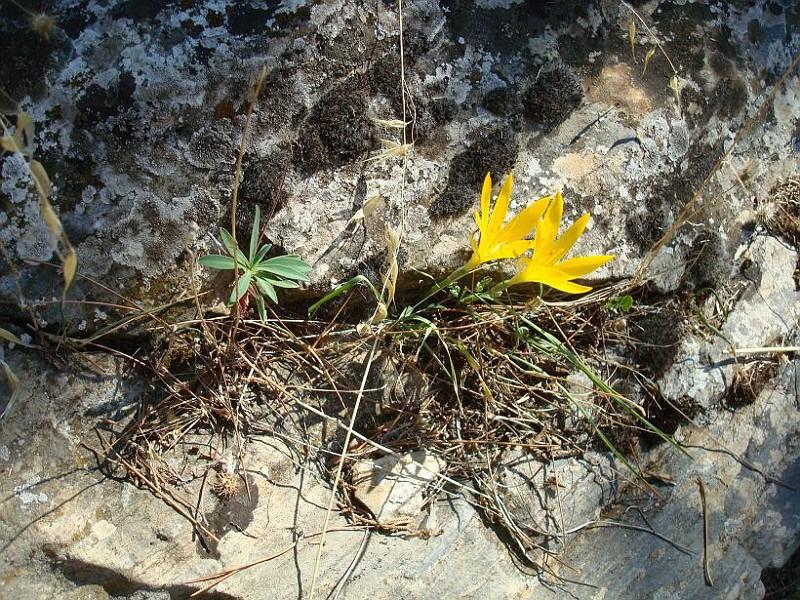 Sternbergia lutea (1)
