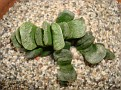 Haworthia truncata cv 'Lime Creen'