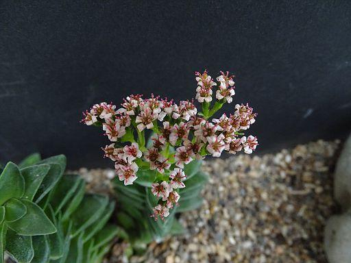 Crassla 'Bride Bouquet'