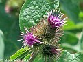 CommonBurdock002