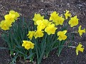 sunny colors of the daffodils