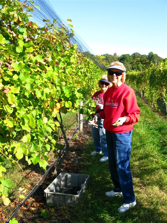Grape Picking at Natali's Vineyard 10-21-09 (15)