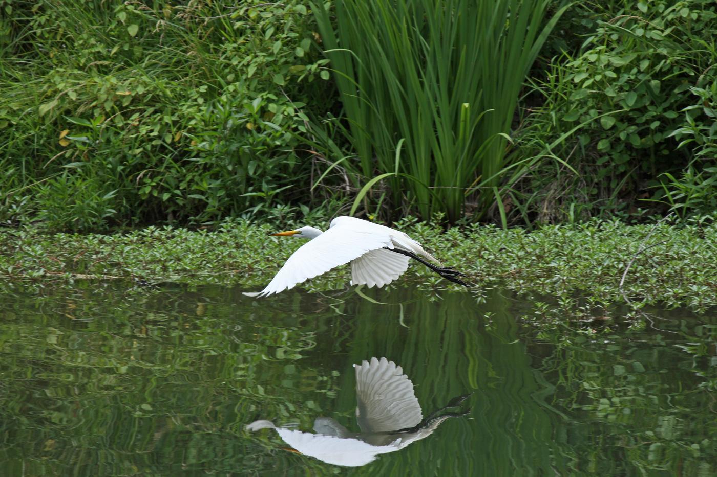 Great Egret #4