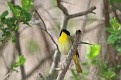 Yellowthroat #7