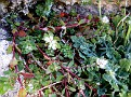 Paronychia argentea (4)