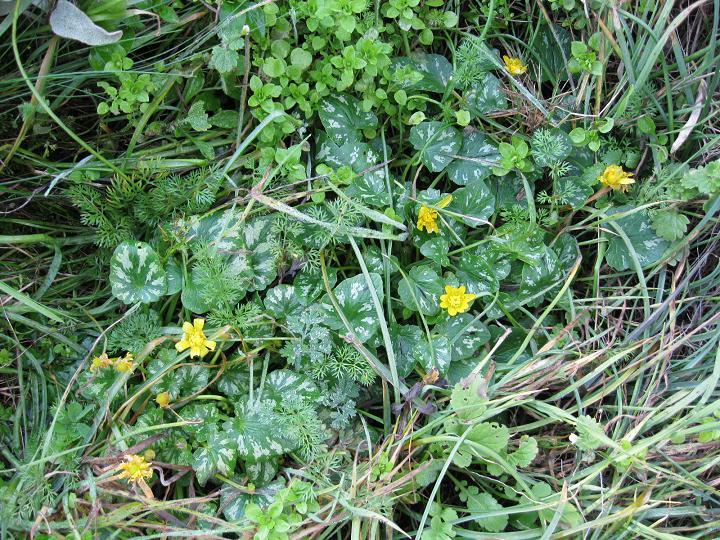 Ranunculus ficaria (1)