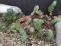 Petrosedum fosterianum