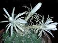 Discocactus crystallophylus