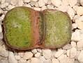 Gasteria brachyphylla v. bayeri
