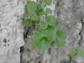 Umbilicus rupestris -Habitat