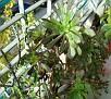 Aeonium arboreum cv  Schwarzkopf