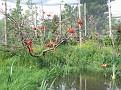 Eudocimes ruber  Rode ibis