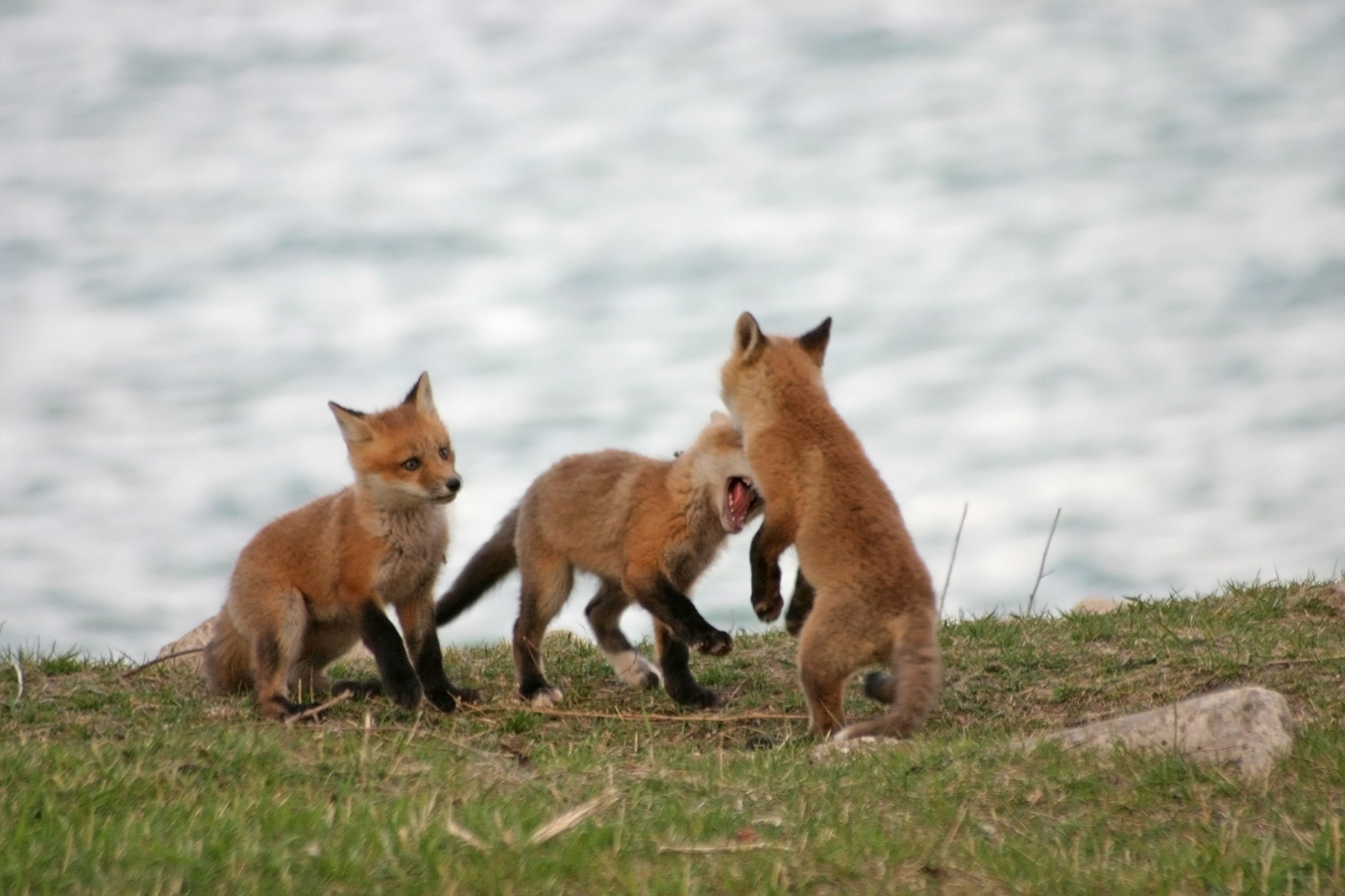 Red Fox Series #6