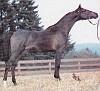 OKW JOVAN #286201 (*Aladdinn x Cryztalight, by *Bask++) 1983 black stallion bred by Lasma Arabians