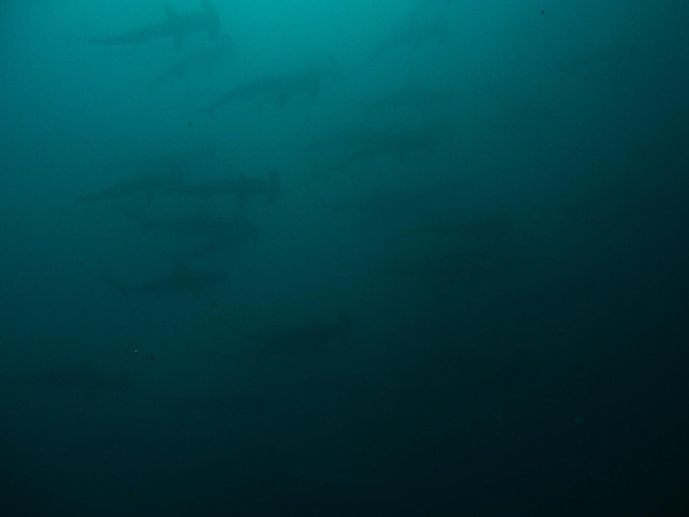 Wall of Hammer Head Sharks!