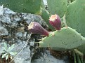 Opuntia sp  (4)
