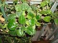 Plectranthus australis