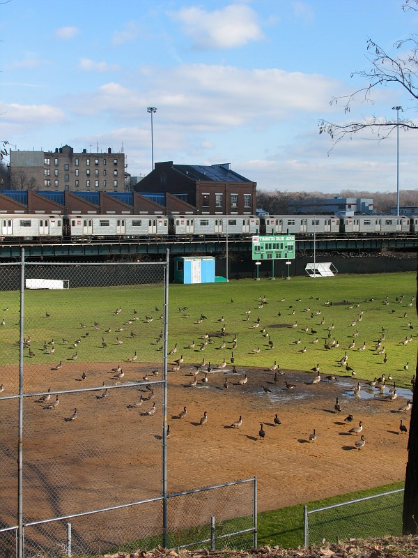 Gaggle of Geese Converge on Gaelic Park