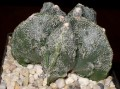 Astrophytum myriostigma cv. 'Fukuryu'