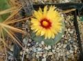 Astrophytum asterias nudum RURI KABUTO