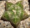 Astrophytum myriostigma cv. Andromeda