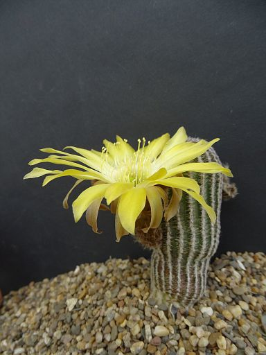 Echinopsis 'Piura'