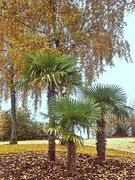 Immenstaader Palmen