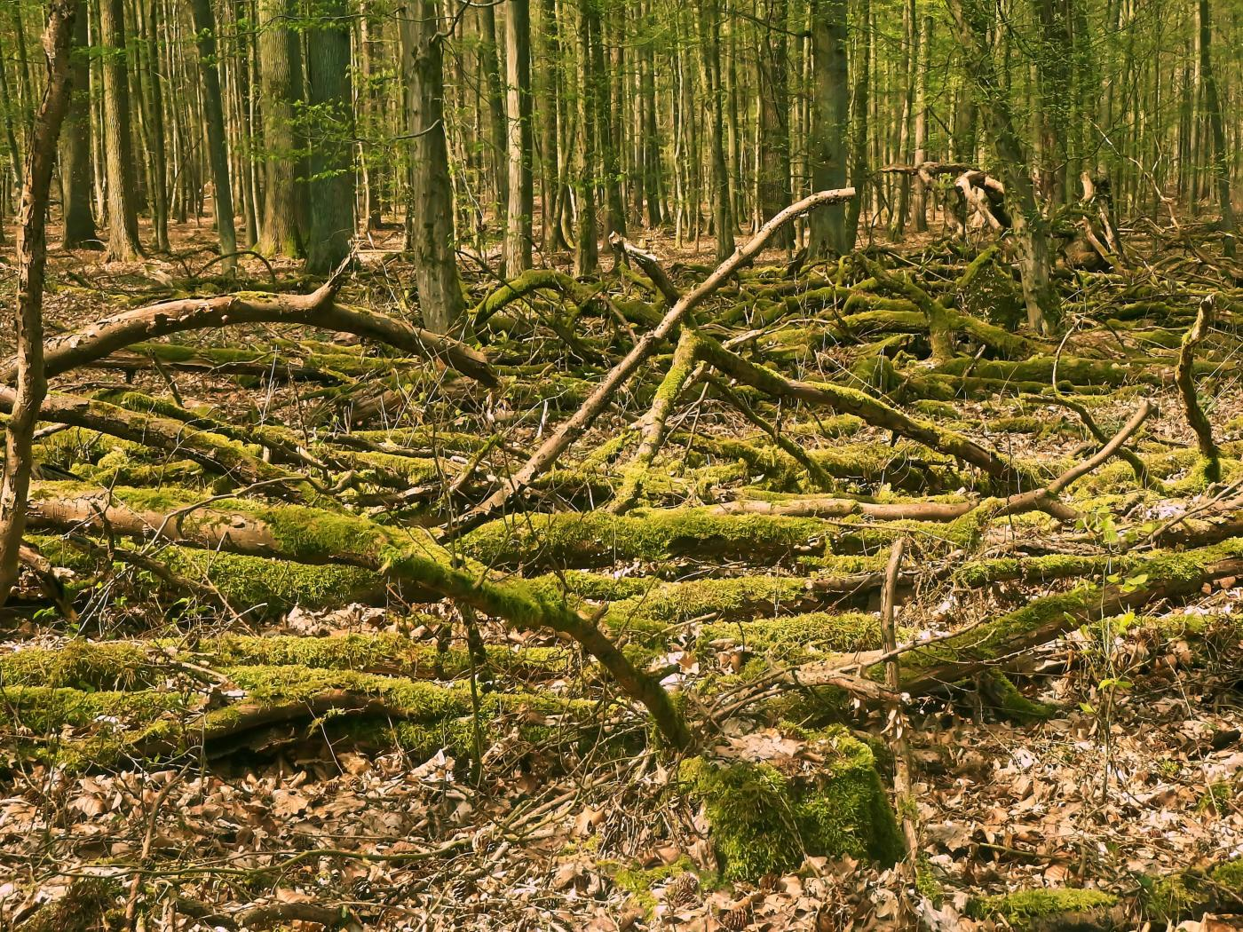 Urwald im Steinheimer Forst