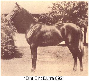 BINT BINT DURRA #892 (Ibn Rabdan x Bint Durra)  Bred by the Royal Agricultural Society in Egypt.