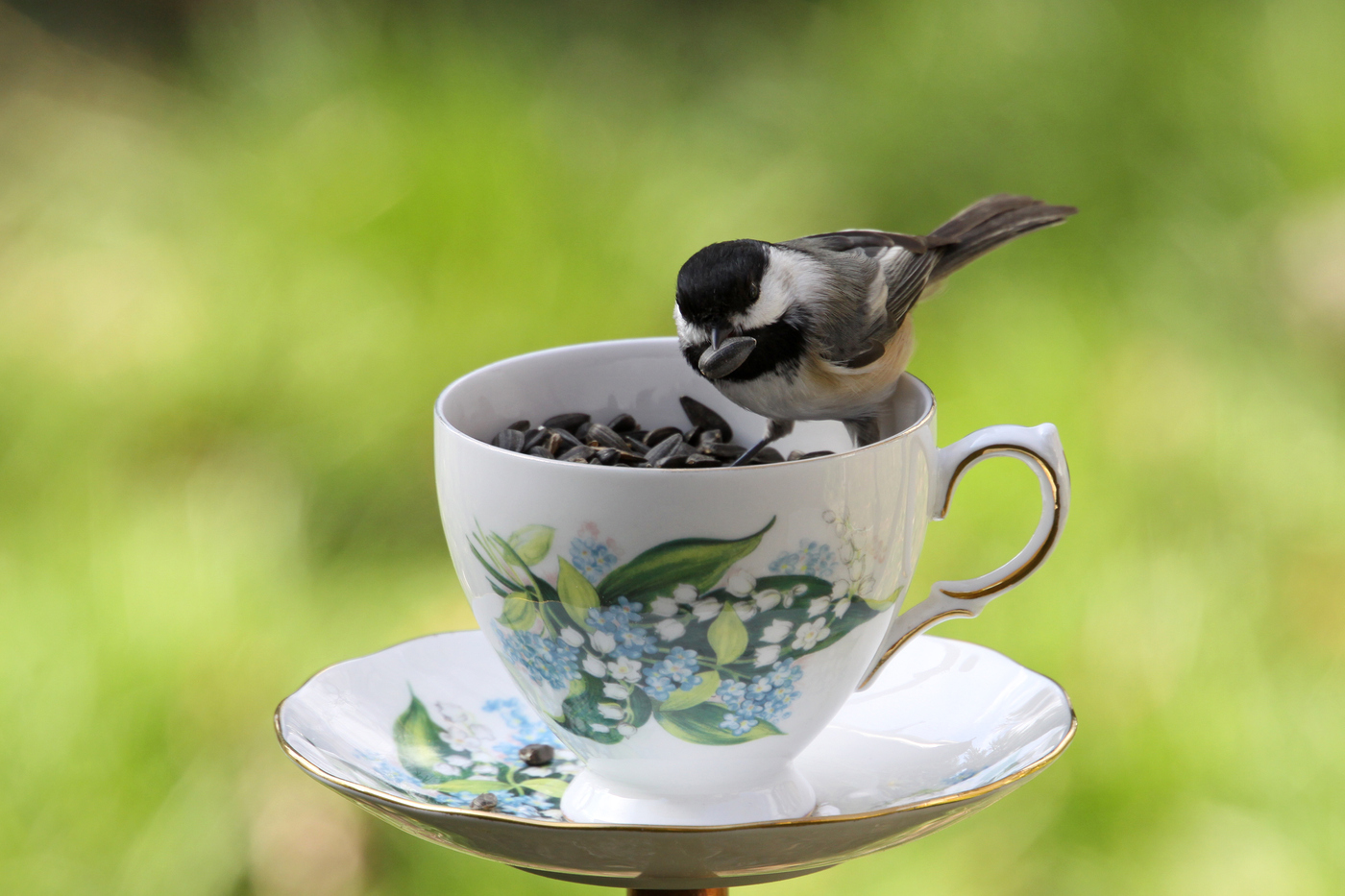 Chickadee at Teacup #18