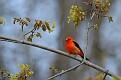 Scarlet Tanager #13