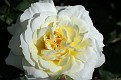 Heritage Rose #12